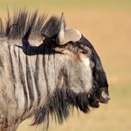 Blue Wildebeest