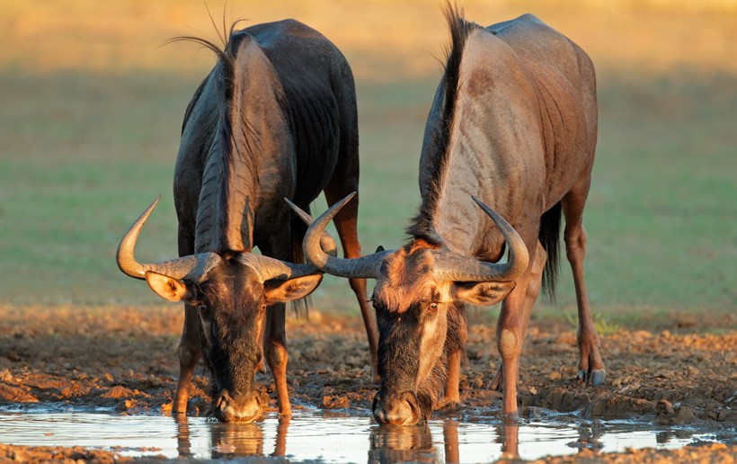 Blue wildebeests drinking water, Kalahari desert, South Africa
