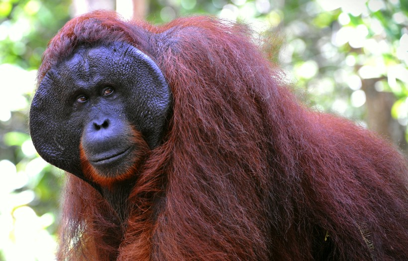 The Bornean orangutan is listed as endangered species as their population has been declining