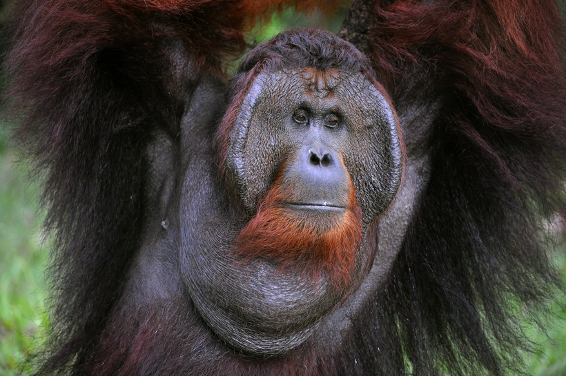 Flanged bornean orangutan male