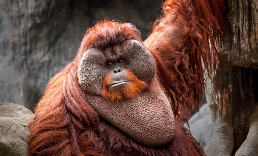 The large cheek pad of a male bornean orangutan