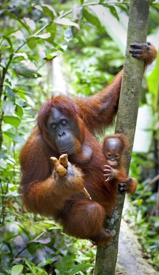 Mother and newborn bornean orangutan, jungle in Sabah (Malaysia)