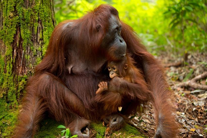Mother bornean orangutans nurse the little ones for 3-5 years