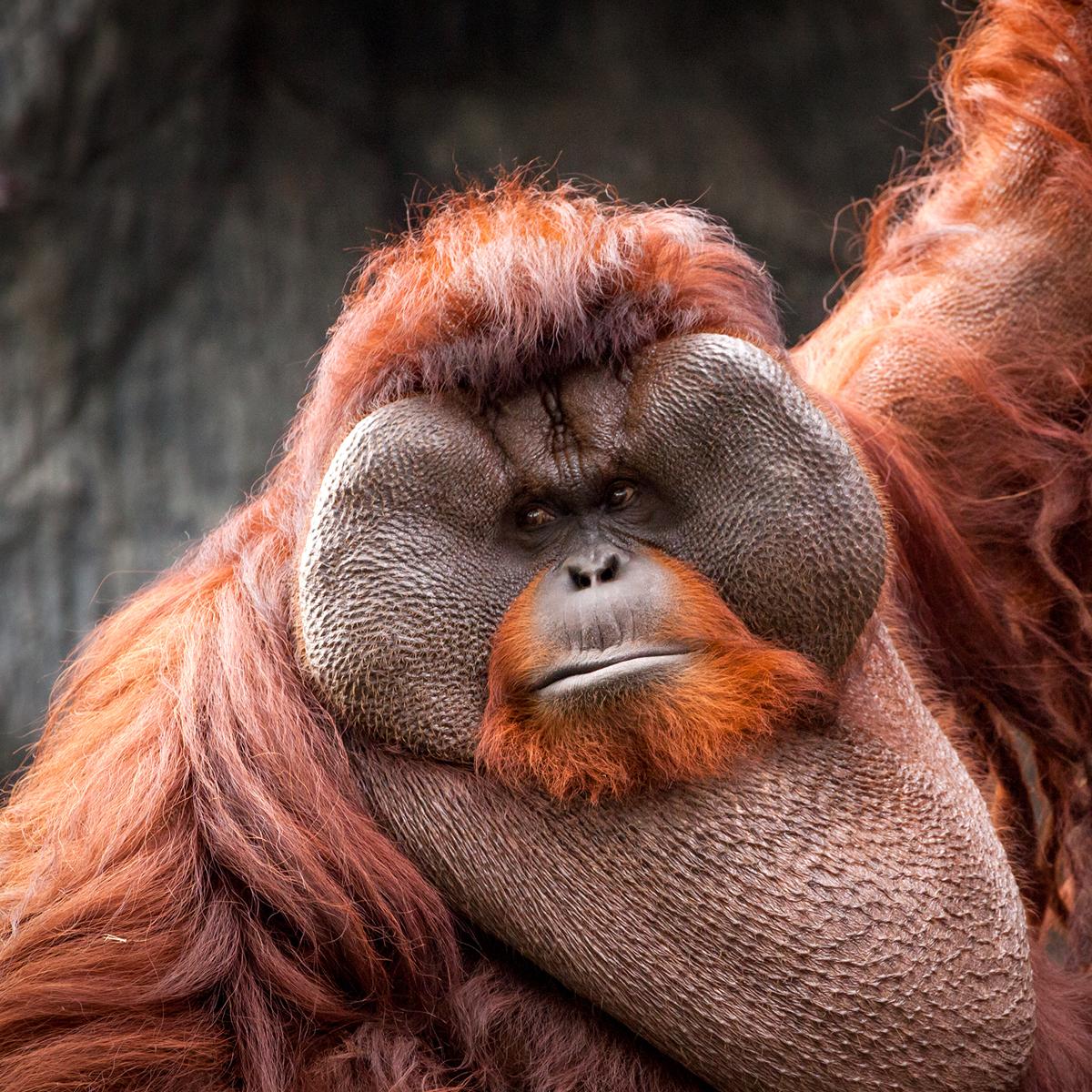 bornean-orangutan-ogimage.jpg