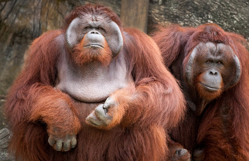 Large flanged bornean orangutan males with the typical reddish-brown coat