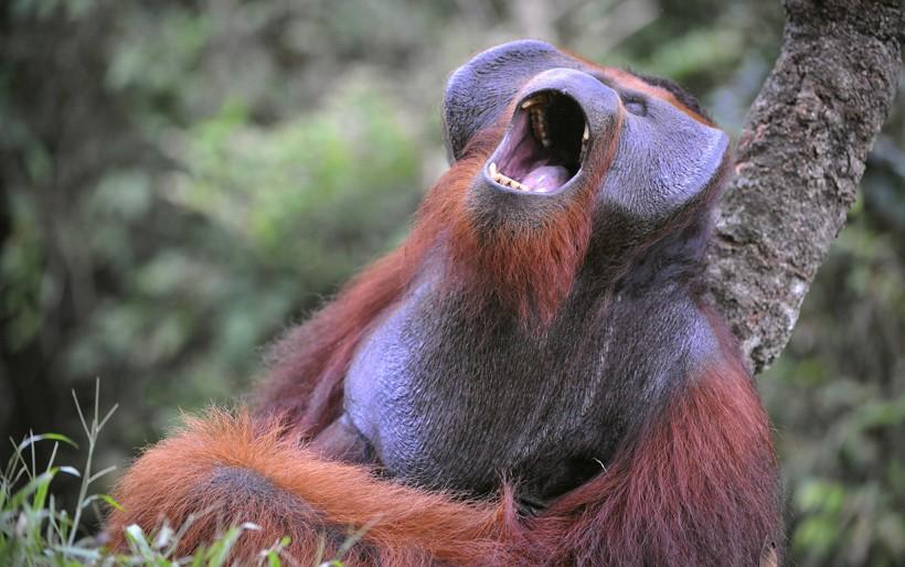 Flanged male bornean orangutan yawn