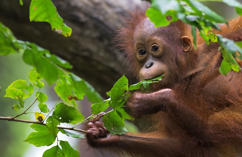 Young Bornean orangutan eating a leaf