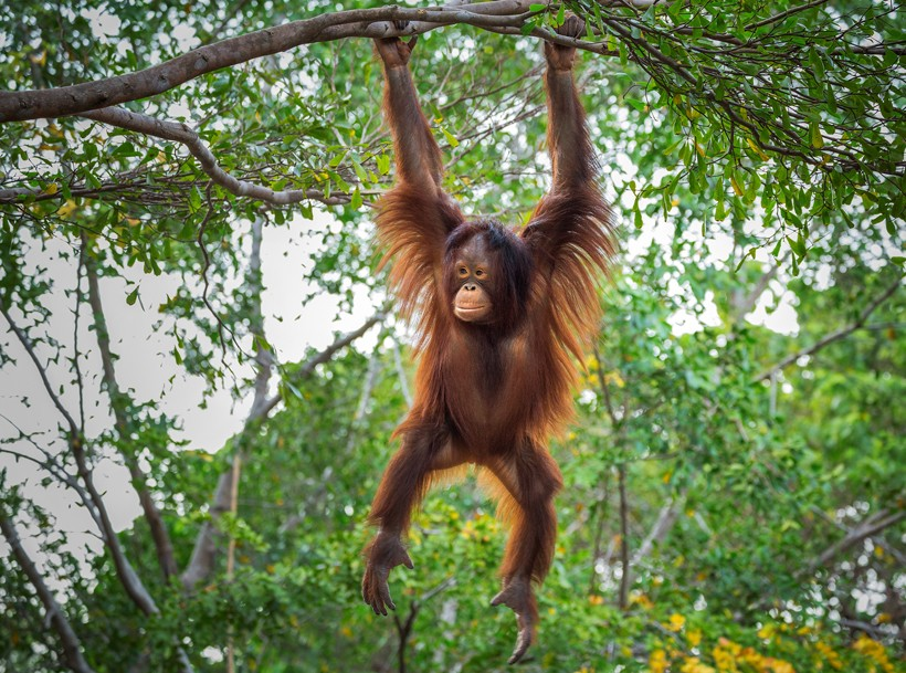 Young bornean orangutan hanging in a tree