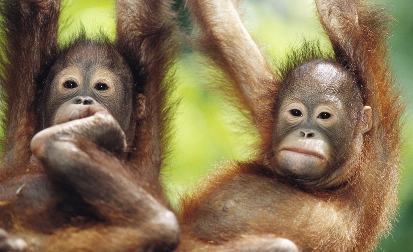 Two newborn Bornean orangutans hanging in a tree