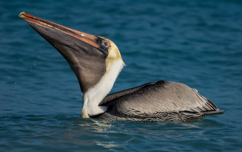 Brown Pelican with big pouch swimming