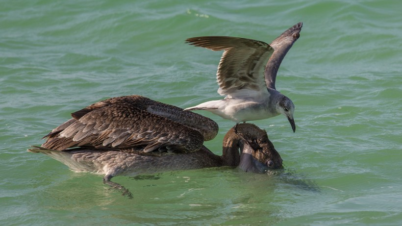 Gull attempting to steal a fish from a Brown Pelican