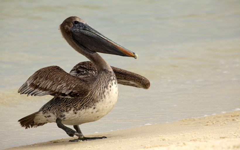 Immature Brown Pelican Landing on the white sand beach