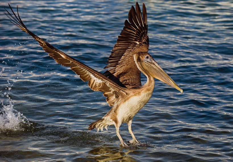 Brown Pelican landing on the water