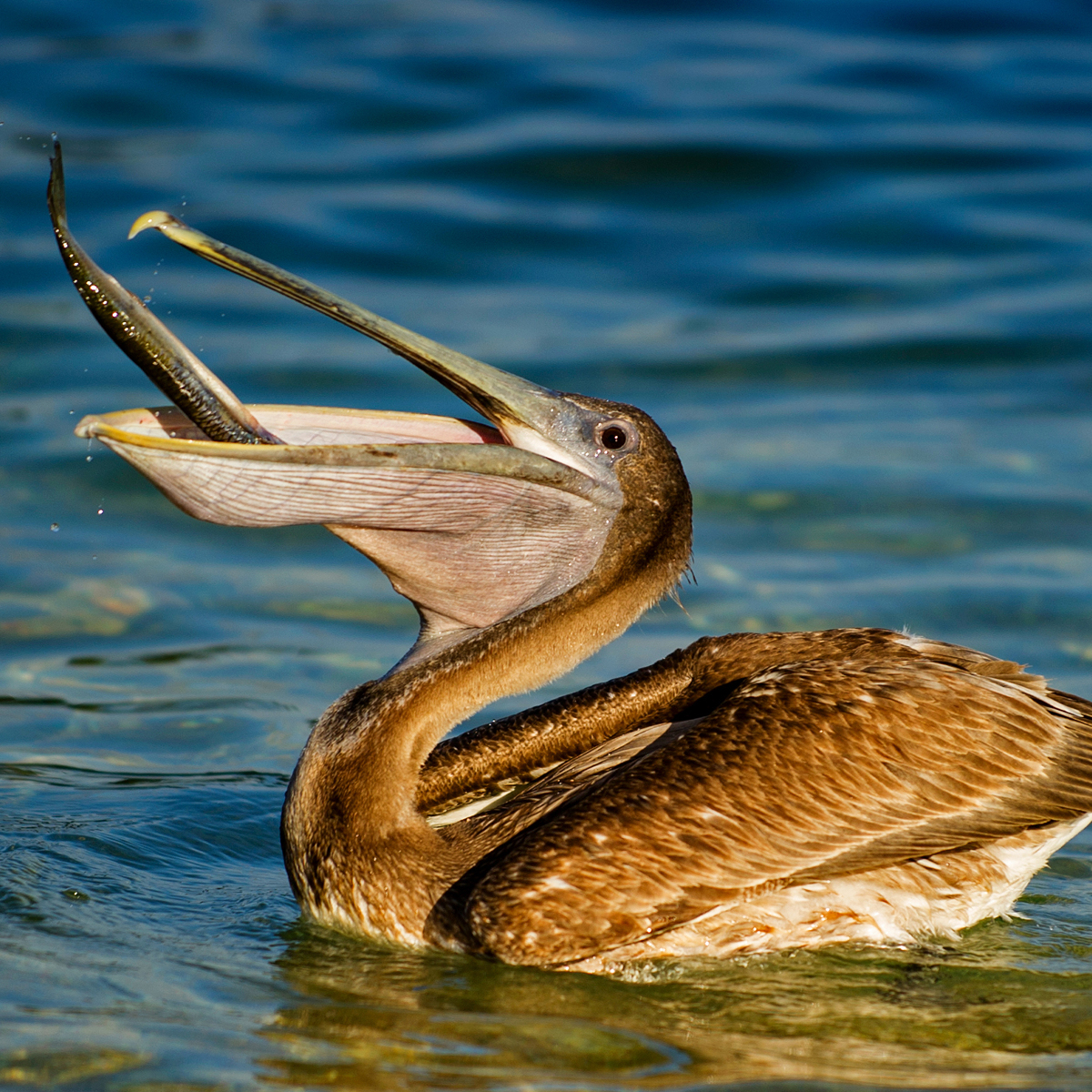 brown pelican pelecanus occidentalis about animals