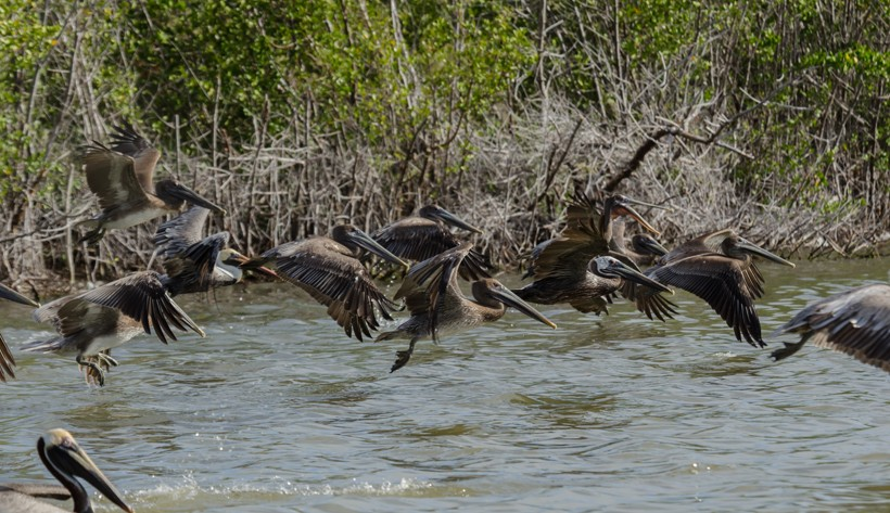 Brown Pelican flock flying