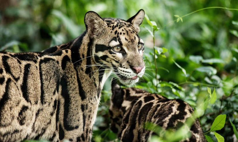 The color of the clouded leopard provide perfect camouflage in its woodland habitat