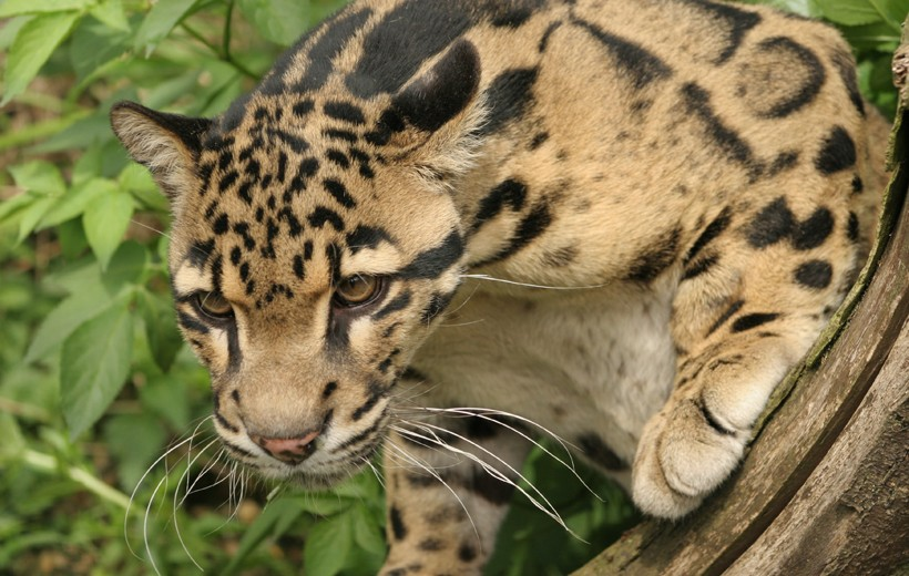 Clouded leopard, smallest of all big cats