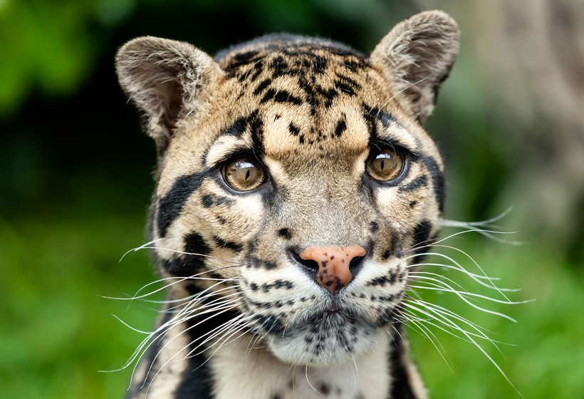 Clouded leopard head