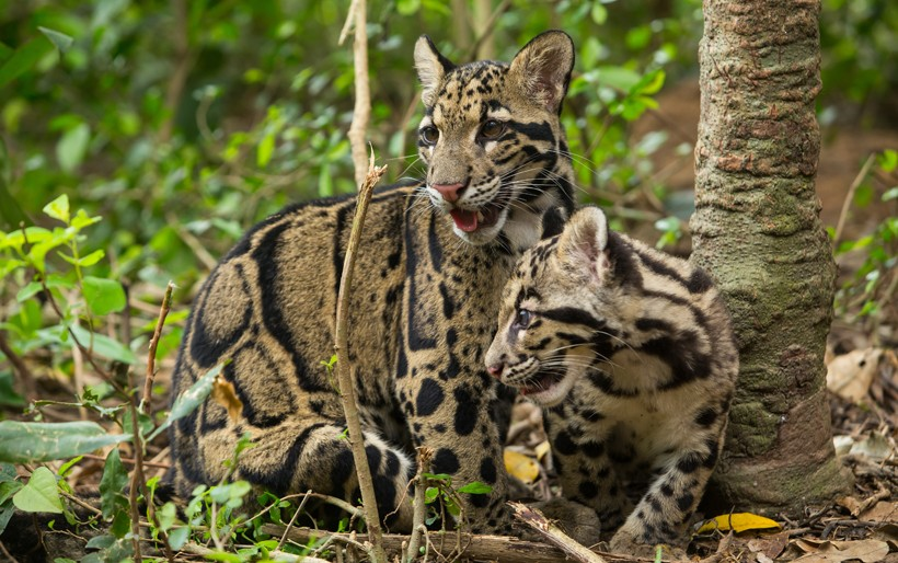 Clouded leopard mother with cub