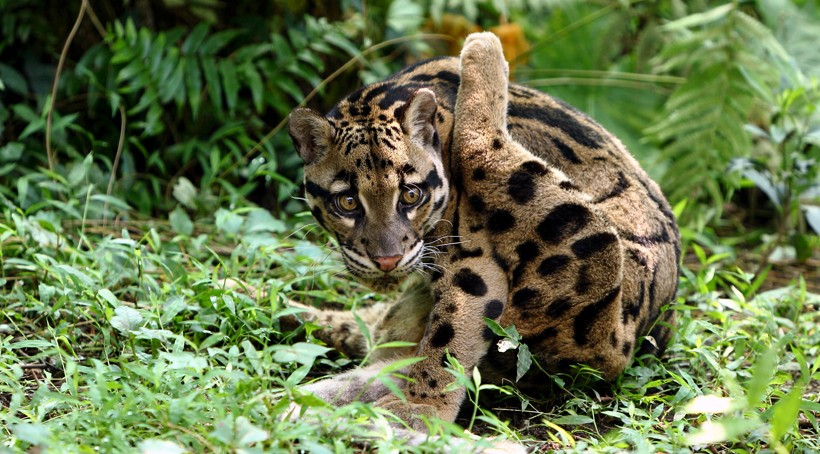 Clouded leopard grooming himself