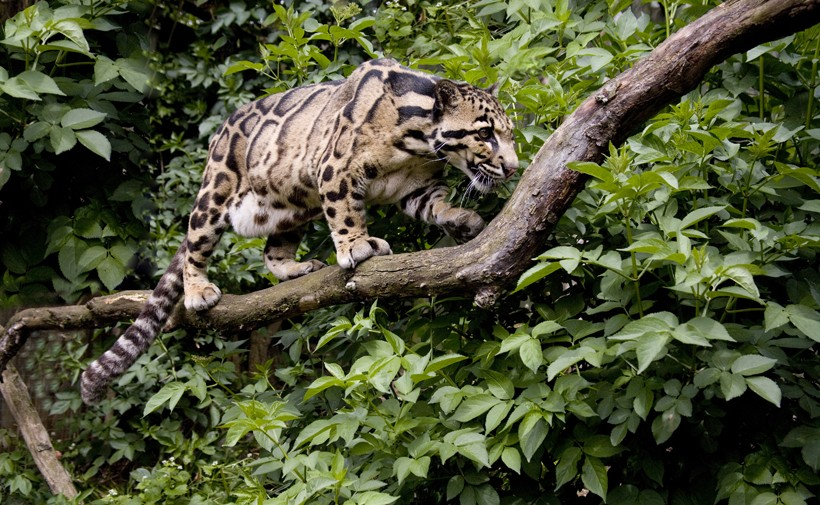 Clouded leopard walking on a branch
