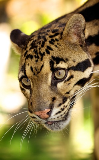 Clouded leopard portrait