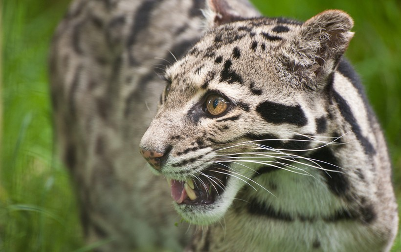 Clouded leopards closeup head