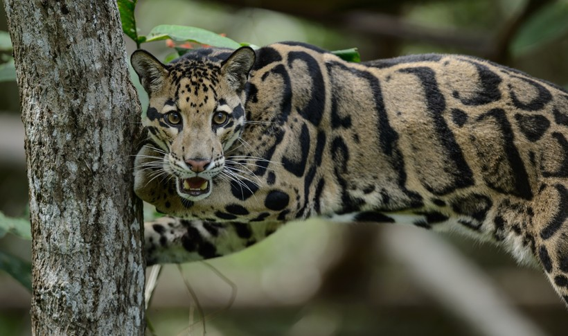 Clouded leopards are very efficient climbers, capable of hanging from branches by their hind paws.