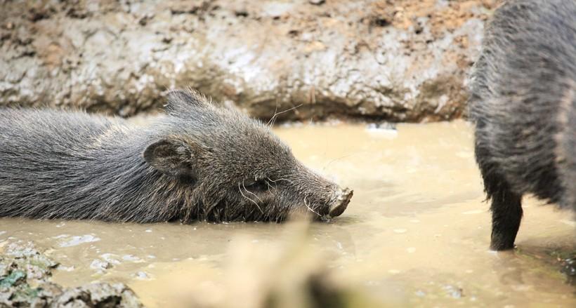 Juveline slogging through the mud