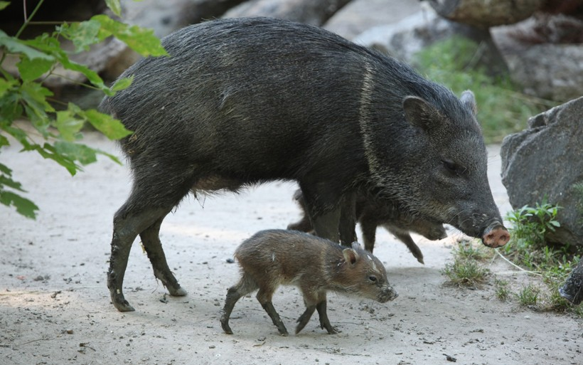Newborn collared peccary walking beside his mother