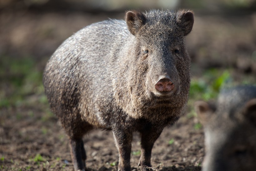 Collared peccary in plowed field