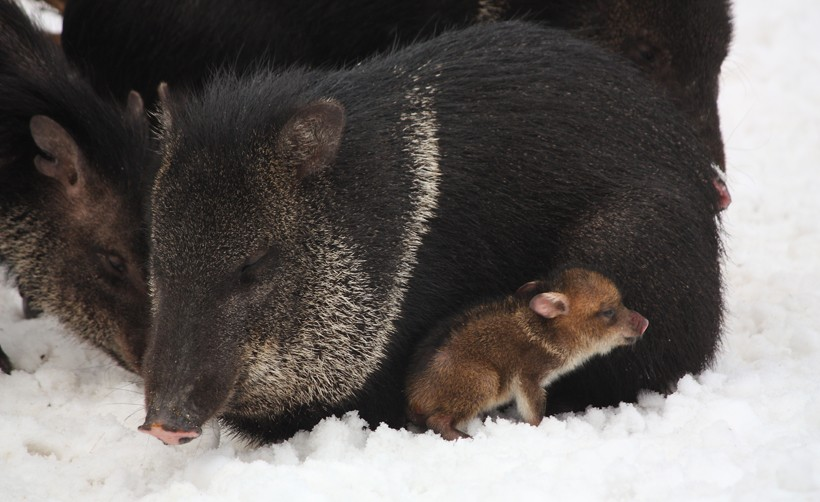 Newborn peccaries, also known as 'reds', living in snow