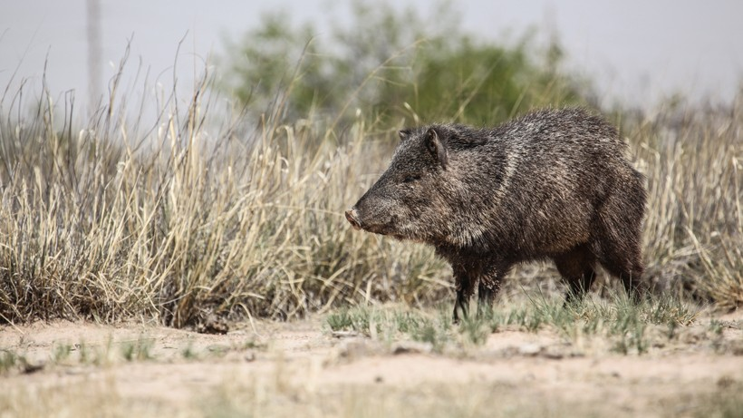 Collared peccary in the southwestern desert/grassland of the united states