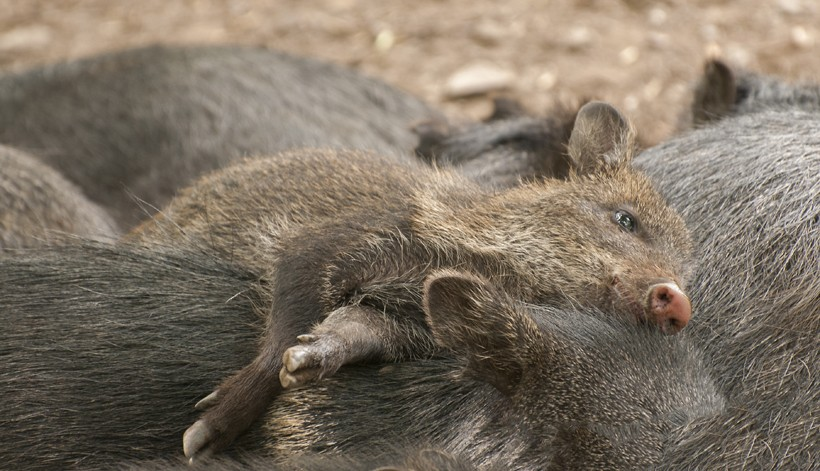 Peccary young merged in group