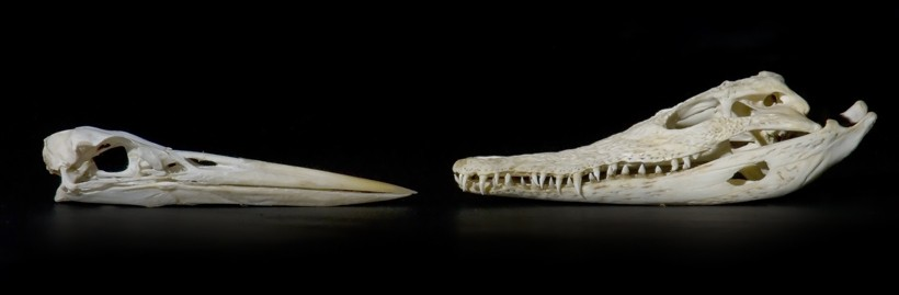 Bird and crocodile skulls