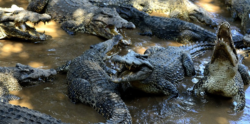 Large Cuban crocodile group, natural park Cuba