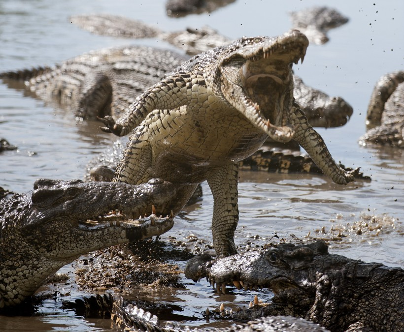 Cuban crocodile jumping out of the water