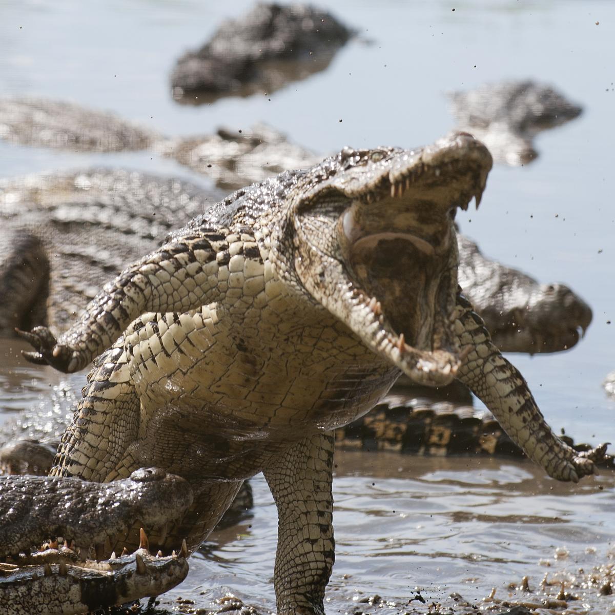 Cuban Crocodile Crocodylus Rhombifer About Animals