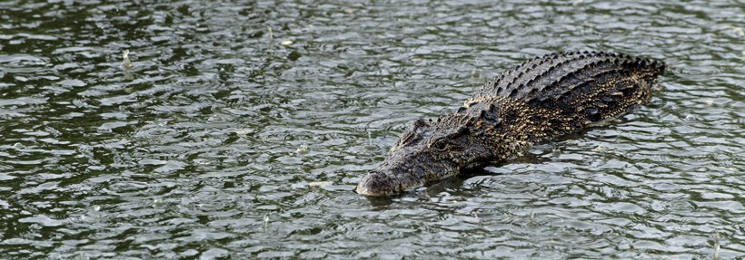Cuban crocodile swimming in a fresh water river while it is raining