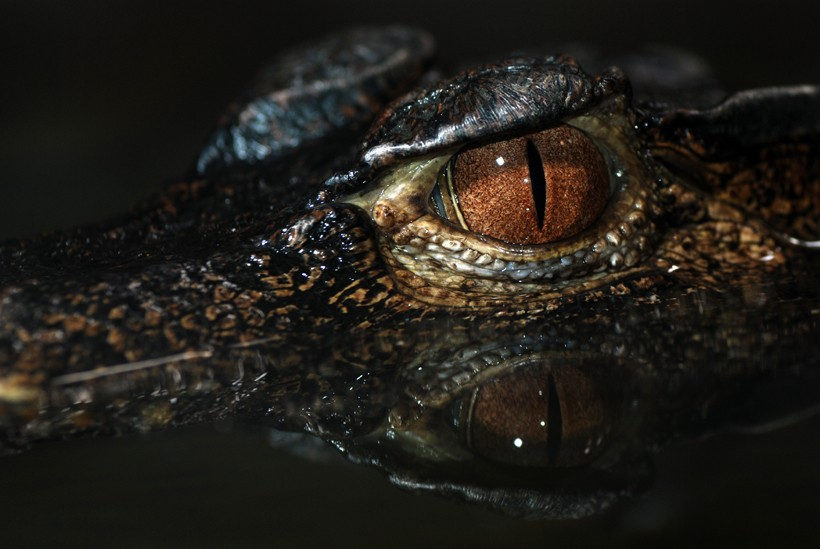 Cuvier's dwarf caiman brown pupils with reflection in the water