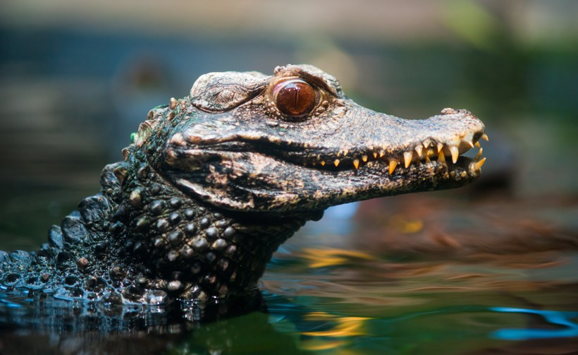 Cuvier's dwarf caiman with its head out of the water