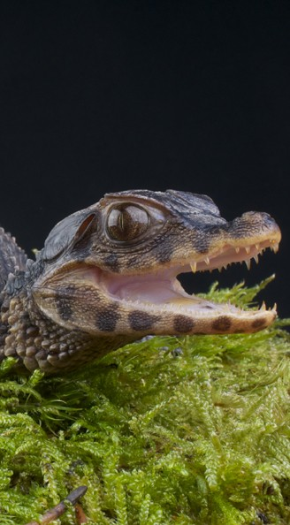 Cuvier's dwarf caiman mouth open
