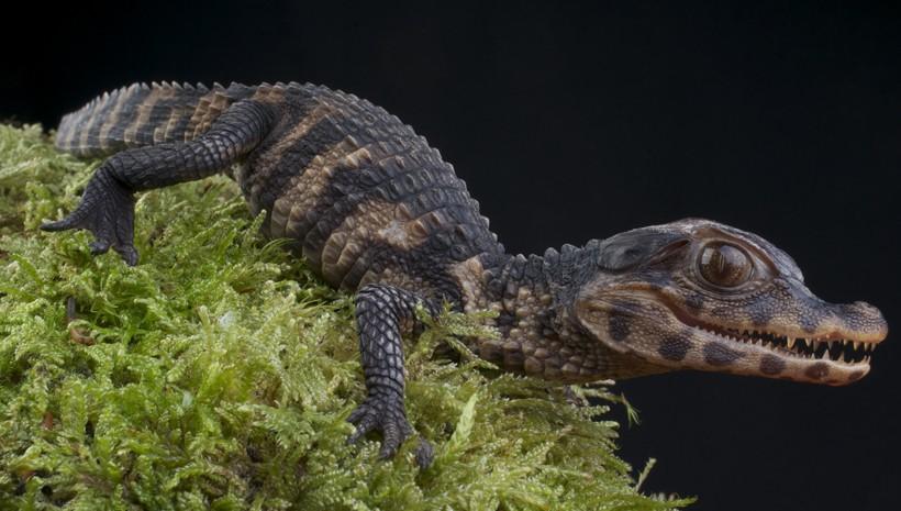 Newborn cuvier's dwarf caiman