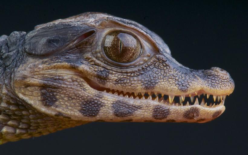 Cuvier's dwarf caiman newborn closeup head