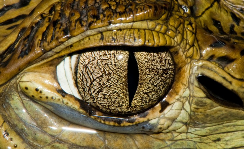 Cuvier's Dwarf Caiman with a rare golden pupil
