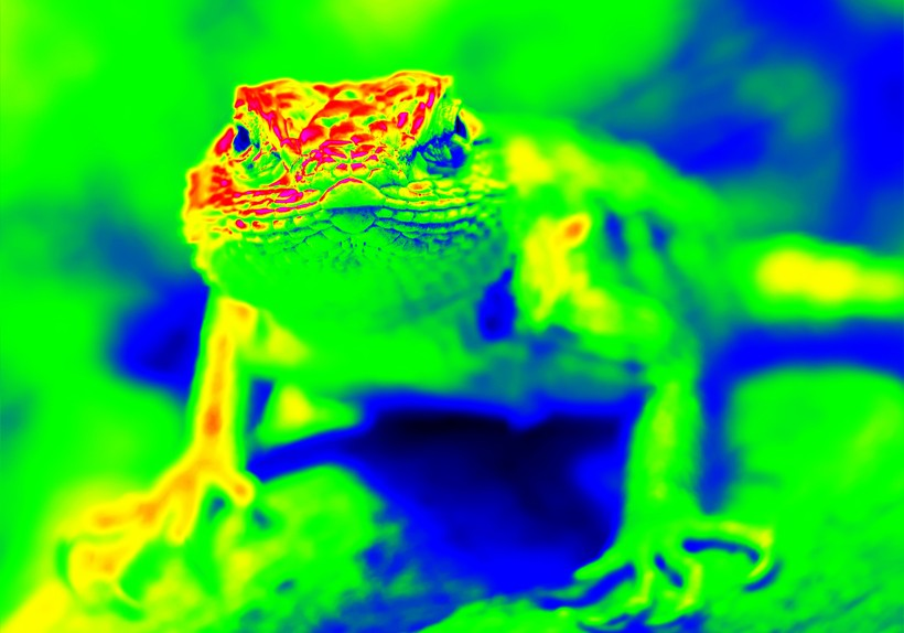 Infra red photograph of the desert spiny lizard