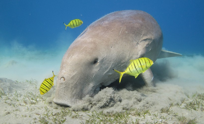 The digging of the dugong results in a feast for pilot jacks
