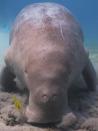 Dugong, a marine mammal of order Sirenia