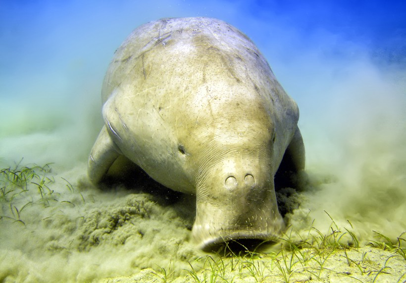Dugongs feed exclusively on sea grasses, and are completely herbivorous like cows.