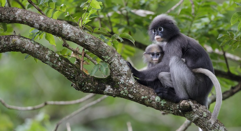 Adult dusky leaf monkey with child in a tree